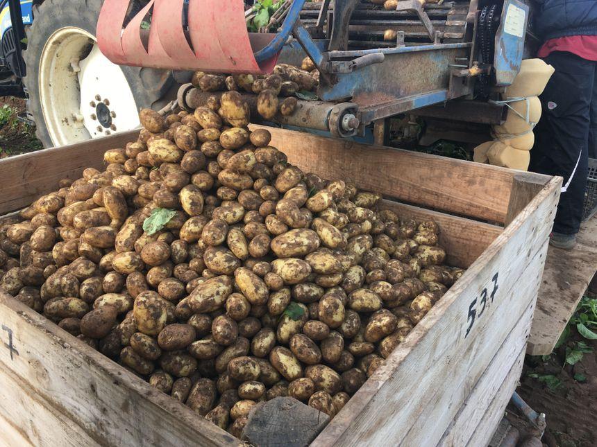 Chaque année 1500 à 2000 tonnes de pommes de terre AOP sont produites sur l'île de Ré.
