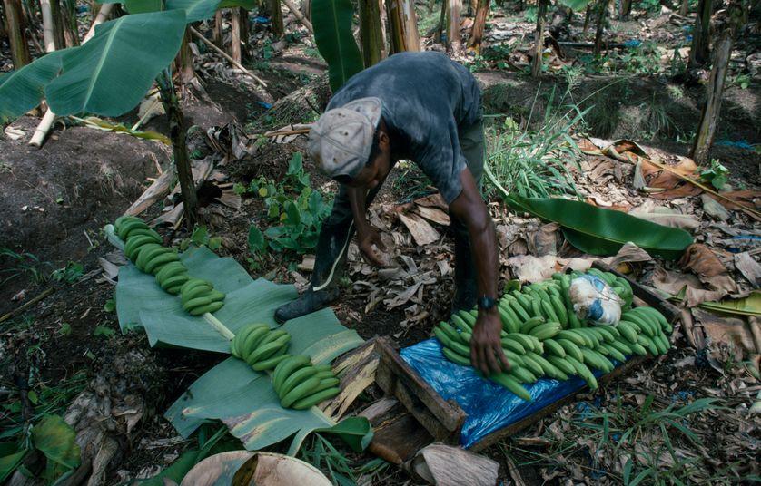 Travail d'un ouvrier dans une plantation de bananes aux Antilles