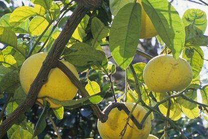 Citrus maxima / Citrus grandis / Pamplemoussier / Pomelo