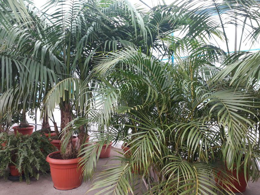 """Sous la serre tropicale, des """"kentias"""", des variétés de palmiers qui ont plus de 50 ans d'âge"""