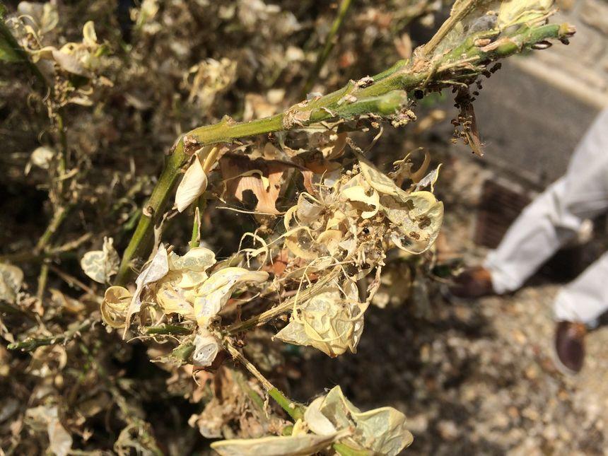 Un exemple de dégâts provoqués par la pyrale sur le buis lorsqu'il est attaqué. L'arbuste peut aller jusqu'à dépérir.