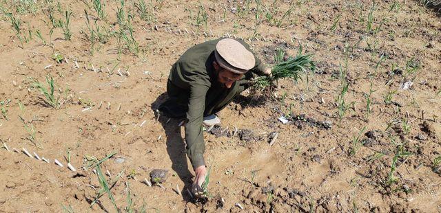 Muhammad Yaqoob, un ouvrier agricole, arrache les mauvaises herbes
