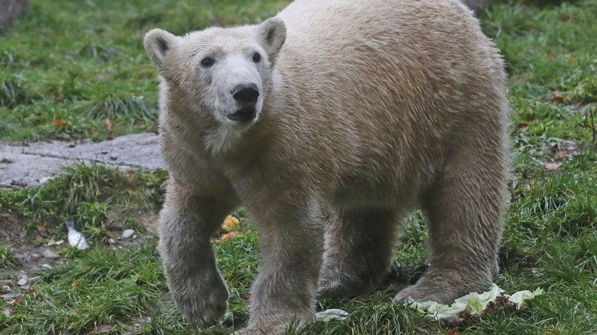 Deux ours polaires arrivent au parc du Reynou près de Limoges - photo d'illustration