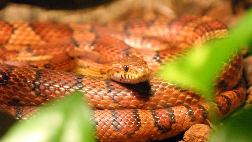 Les pompiers récupèrent un serpent exotique dans une rue de Romans-sur-Isère