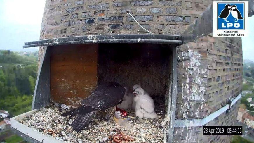 Les vidéos diffusées en direct par la LPO de la Loire (capture d'écran)
