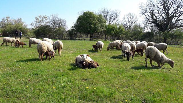 Grâce aux brebis qui les pâturent, ces pelouses sèches du Quercy abritent des espèces rares comme le lézard ocelé ou le papillon azuré du serpolet.