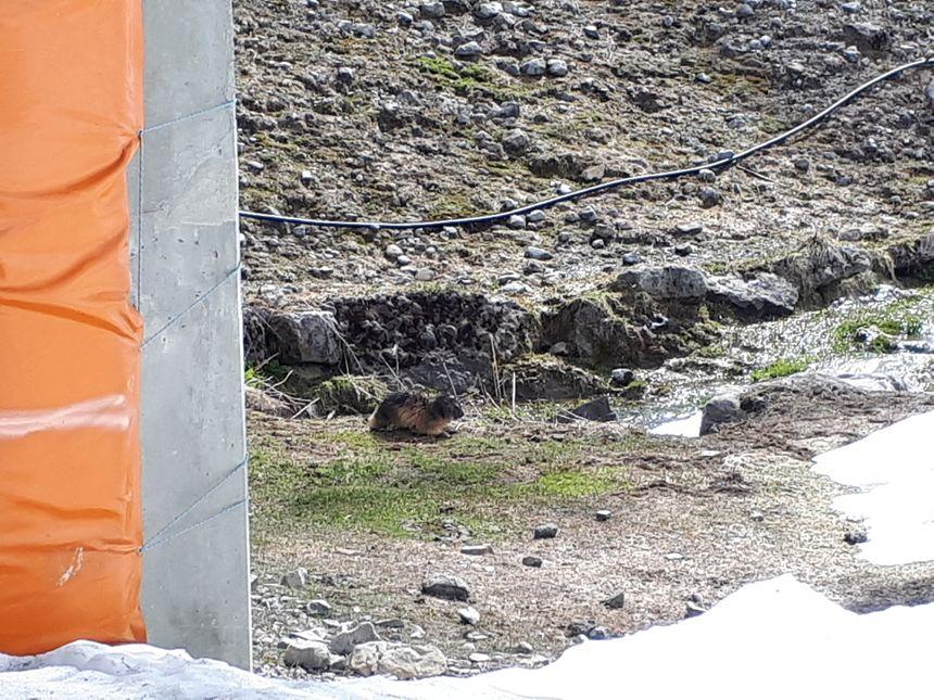 Sous le pylône d'un télésiège , premier bain de soleil tranquille pour Dame marmotte