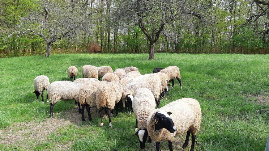 Besancon Un Troupeau De Moutons Municipal Pour Aider A L Entretien Des Espaces Naturels