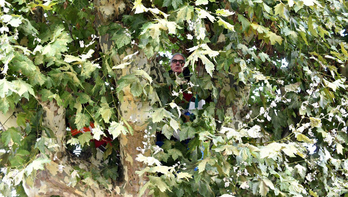 Tarn : il monte en haut d'un platane pour empêcher son abattage