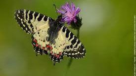 La diane  un papillon à observer près de l'étang salé de Courthezon