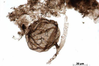 Un microfossile d'Ourasphaira giraldae