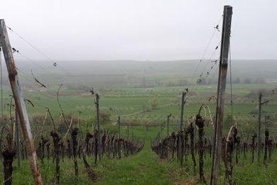 Le Japon est le premier marché d'exportation pour les vins d'Alsace bio et en biodynamie. Vignes de Westhoffen (Bas-Rhin) en avril 2019.