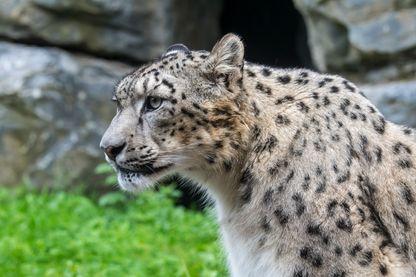 Les léopards des neiges chassés de leurs habitats par des exploitants miniers