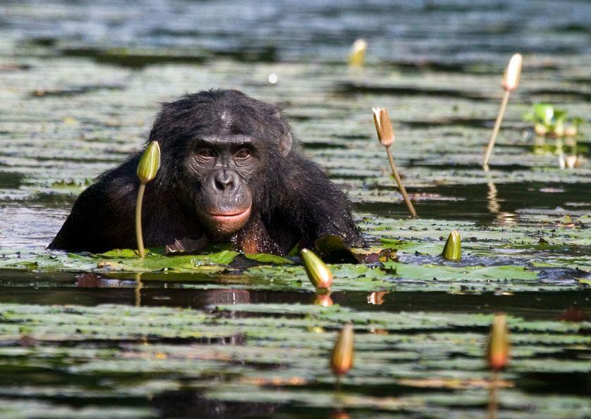 Un bonobo au Congo