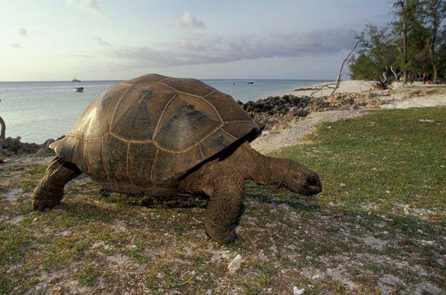 L'atoll d'Aldabra est la principale terre d'accueil pour les tortues géantes des Seychelles.
