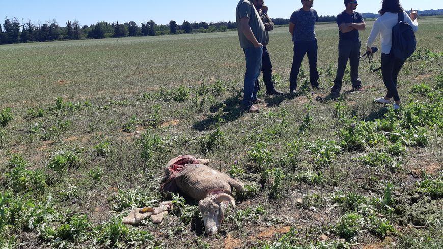 Une des bêtes tuées par le loup à Générac