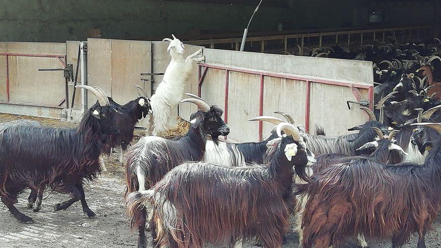 Chèvres Pirenaika de la ferme Ixuribeherea
