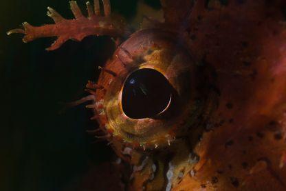 Scorpionfish (Scorpaena cardinalis) eye detail