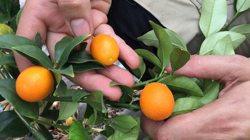 Dans le Kumquat tout se mange, la peau est délicieuse