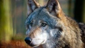 Un ou plusieurs loups ont poursuivi un cerf jusque dans le centre du village de Corrençon en Vercors