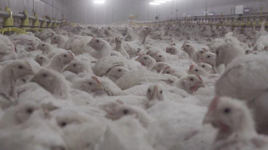 Les poulets de l'exploitation de Solignat