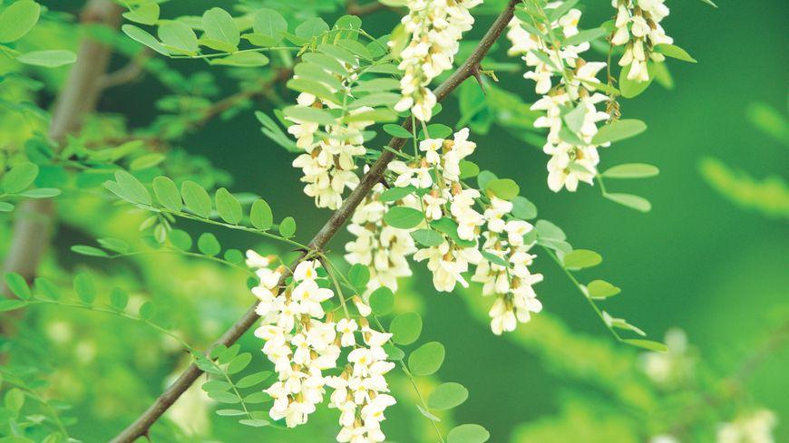 La flor de acacia en todas sus formas