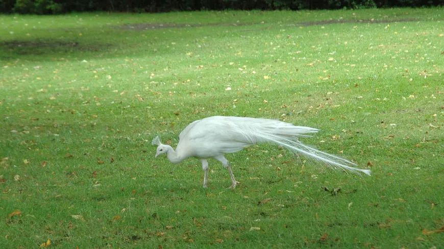 Le paon blanc aurait voulu fuir un chien.
