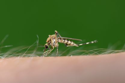 Biting mosquito, Culex pipiens, close-up