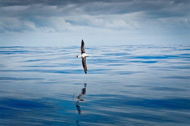 Albatros volant au ras de l'eau