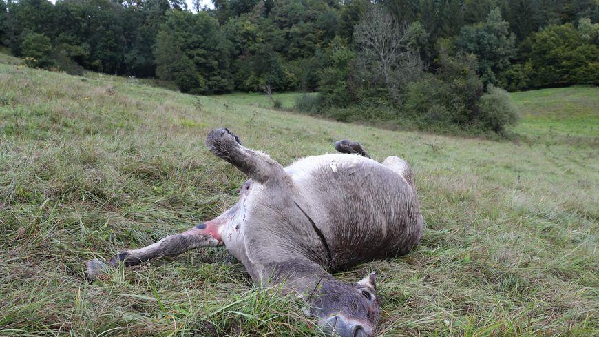 L'un des ânes abattus ce 17 septembre 2017 dans les Bauges en Savoie