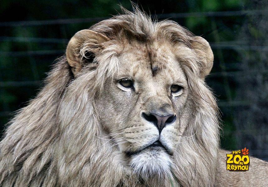 Les lions au parc zoologique du Reynou
