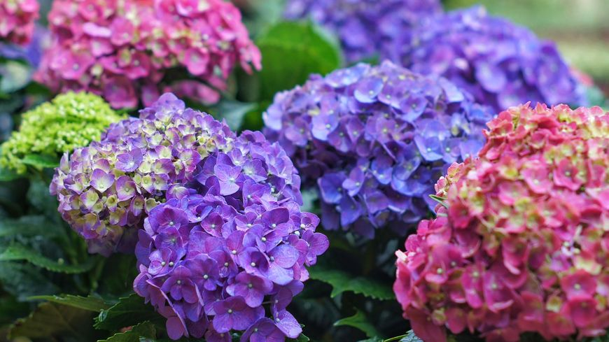 Comment tailler son hortensia
