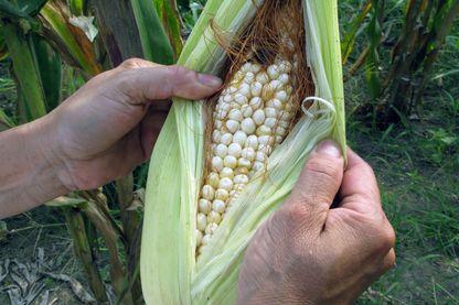 Utiliser les tonnes de tiges et de feuilles après la récolte des épis de mais pour faire du Xylitol, une solution naturelle