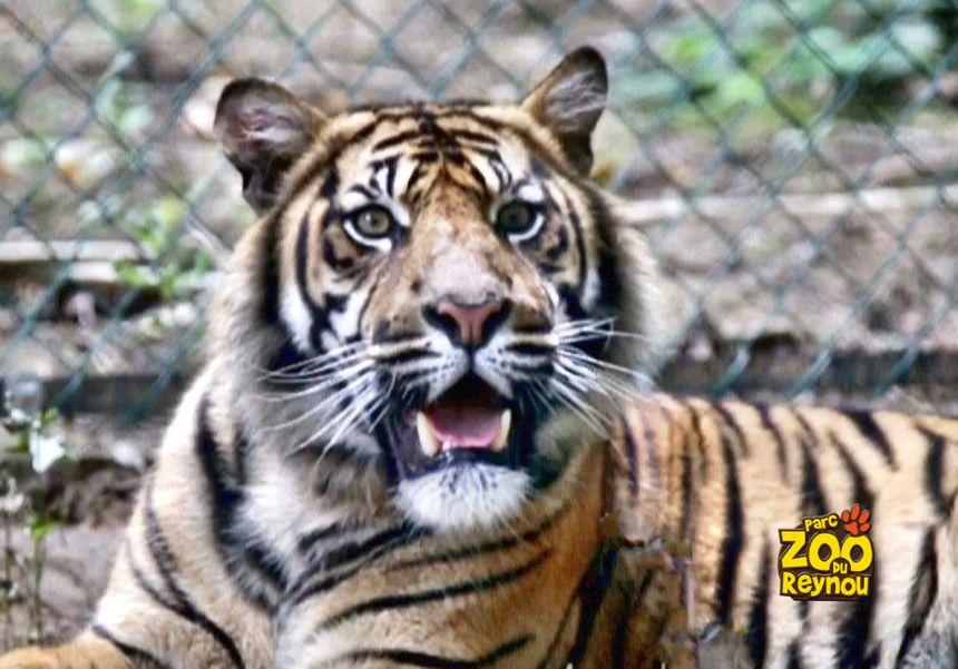 Les tigres...