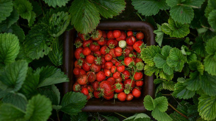 Des fraises dans le petit panier