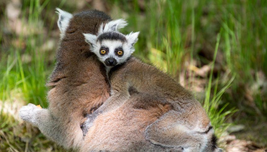 Bébé maki catta, né cette année au Parc animalier