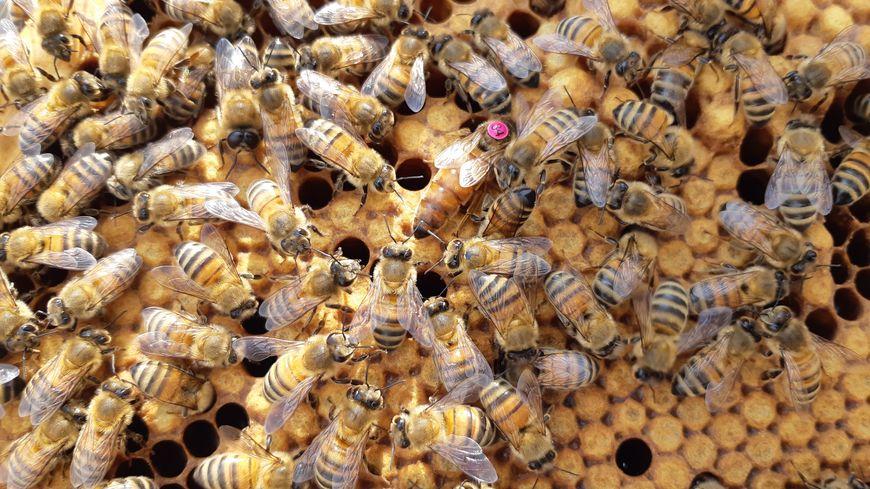 Les abeilles France Bleu Touraine et leur reine