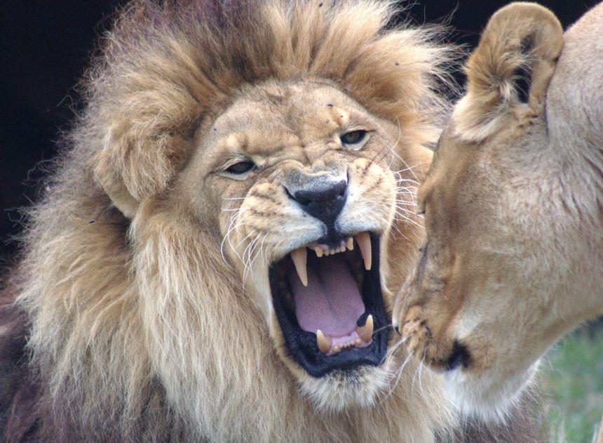 Dondon et Tsavo, lions du parc animalier d'Auvergne