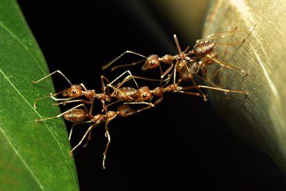 Pont de fourmis