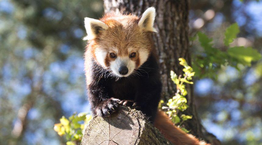 Le panda roux, animal préféré des visiteurs