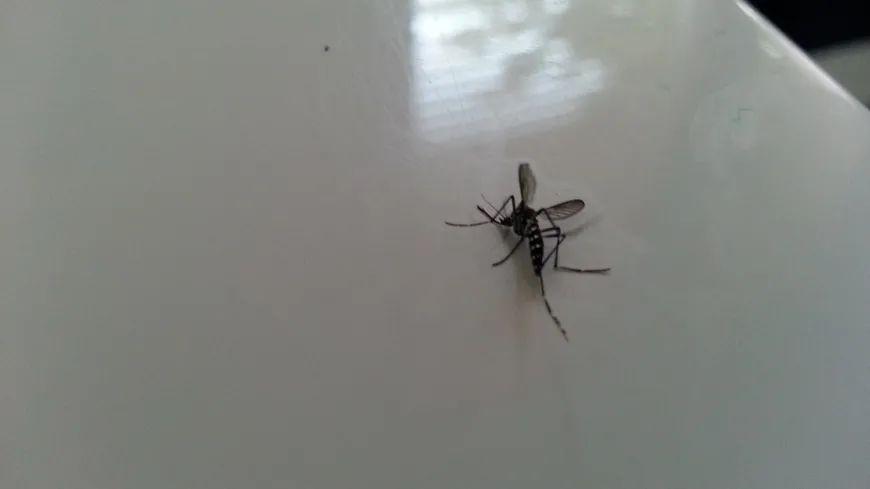 Un moustique-tigre mesure entre cinq et dix millimètres.