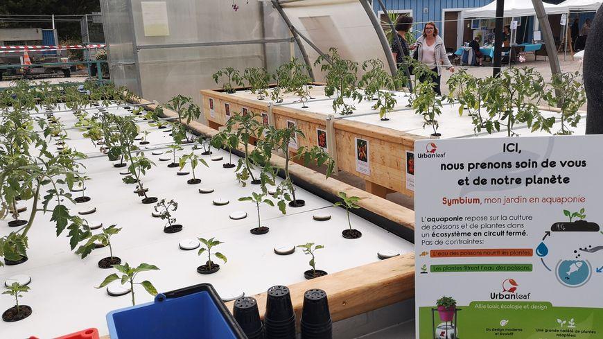 Les légumes sont cultivés hors sol, sur des tables, ce qui facilite le travail du personnel qui n'a pas à se baisser