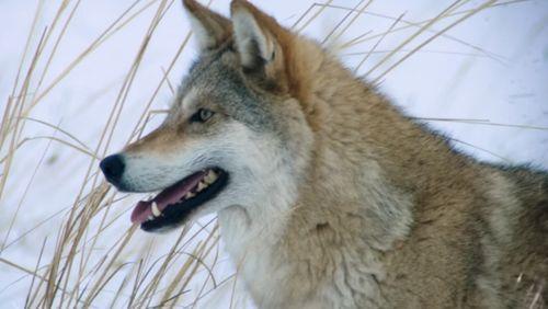 L'approche des loups - Loizeau / Giovannoni (2/4) : Incompréhensible et soudain….