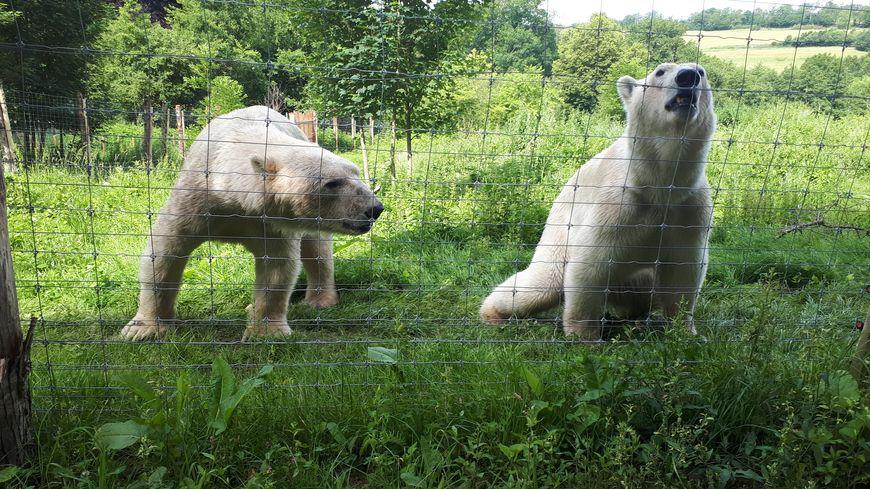 Les deux ours polaires ont fait connaissance au parc du Reynou dans un enclos totalement aménagé pour eux
