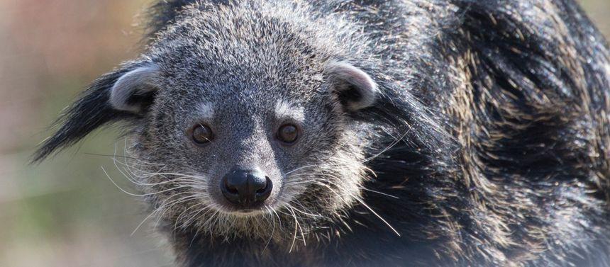 Fifi, binturong arrivée en janvier 2019 au Parc animalier d'Auvergne