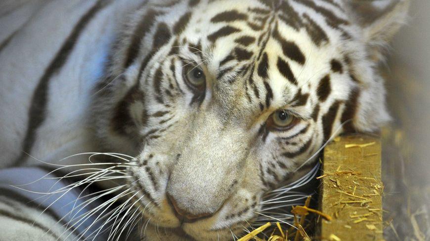 Shilang était arrivé en 2006 au zoo de Maubeuge