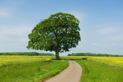 Un frêne sur une route rurale