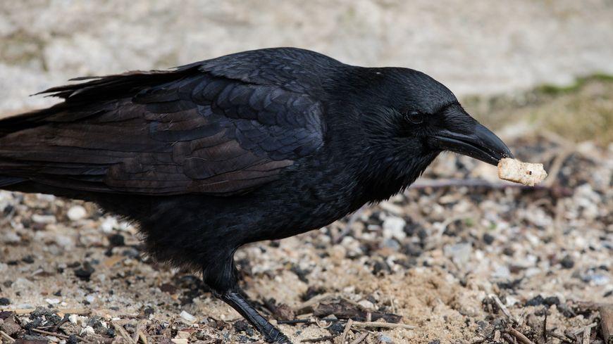 La corneille ressemble comme deux gouttes d'eau à un corbeau