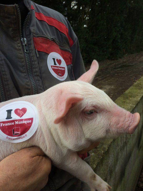 Un petit cochon picard, fidèle auditeur de France Musique !