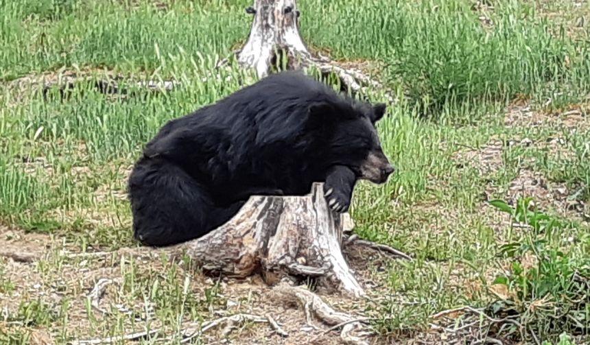 Ourse noire du Tibet au Parc Animalier d'Auvergne